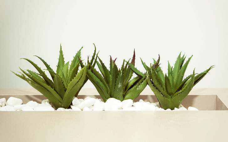 aloe vera radiation absorbing plant