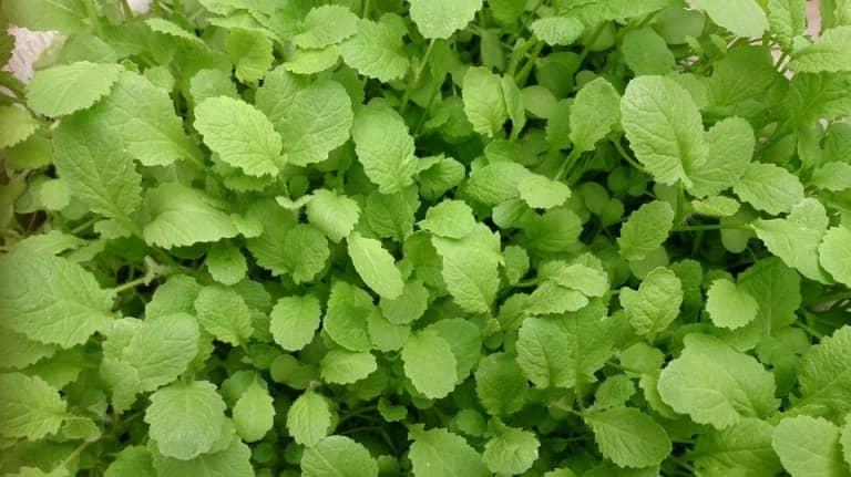 mustard green radiation eliminating plant