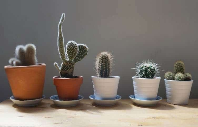 cactus anti radiation plant